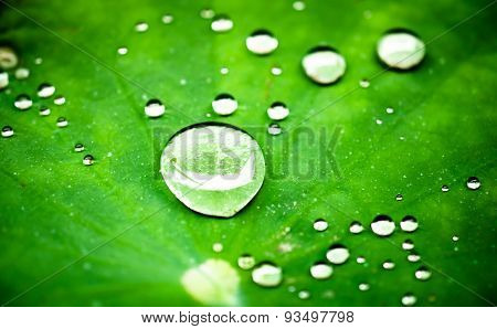 Raindrops on a lotus leaf. selective focus