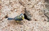 stock photo of tit  - Blue tit with nest in an old wall feeding young - JPG