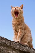 foto of yawn  - Yawning yellow cat on stone wall against blue sky - JPG