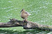 Постер, плакат: Female Duck resting on a log Duck on the lake Duck standing on a log