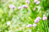 pic of chive  - natural background with pink flowers of chives herb on green summer meadow - JPG