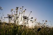 pic of pov  - Daisies in a field taken in the evening as the sun was setting  - JPG