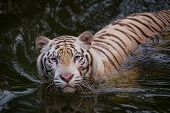 stock photo of white-tiger  - White tiger symbol of  success and might - JPG
