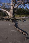 stock photo of jekyll  - Beach erosion reveals the reaching root of an old dead oak tree on Jekyll island - JPG