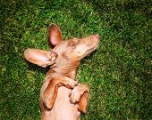 stock photo of spayed  -  a happy dachshund on fresh green grass with his ears out - JPG