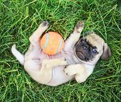 stock photo of chug  - a cute baby pug chihuahua mix puppy playing with an orange tennis ball in the grassy clover during summer - JPG