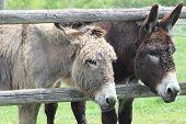 pic of donkey  - A pair of donkey - JPG