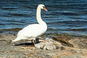 picture of shoreline  - One adult mute swan with three small chicks on rock at the shoreline - JPG