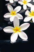 pic of frangipani  - Zen stones and frangipani  - JPG