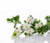 foto of gardenia  - gardenia - JPG