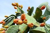 image of prickly-pear  - Prickly pear cactus  with sweet orange fruits - JPG