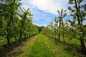 image of orchard  - Fruit trees in an orchard in spring - JPG