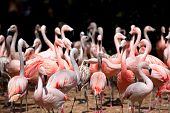 stock photo of pink flamingos  - Group of pink flamingos in Camargue France - JPG
