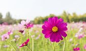 picture of cosmos flowers  - Cosmos flowers in the central park of natural light - JPG
