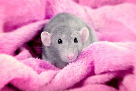 pic of rats  - Gray domestic rat on a pink background - JPG