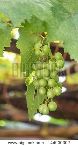 Grapes With Green Leaves