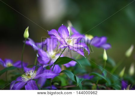 Purple clematis flowers in the garden. Shallow depth of field