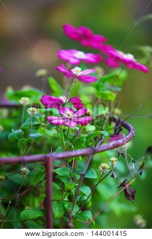 beautiful brigth purple clematis flowers. Shallow depth of field