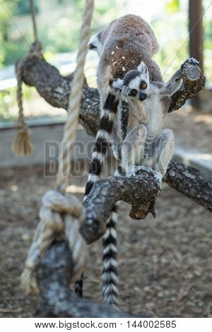 monkey lemur with striped tail sitting on a branch