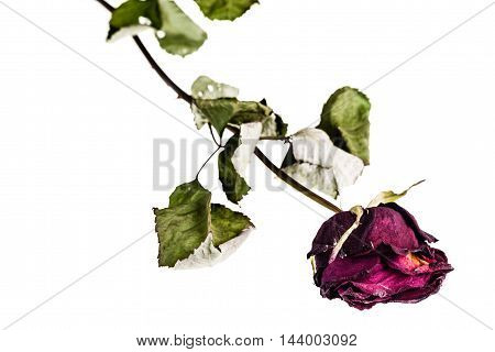 Faded Rose On White