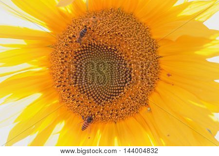 bees collecting nectar on the sunflower. close-up.