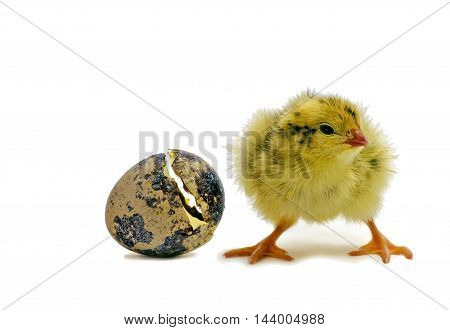 Nestling quails is waiting for siblings. Domesticated quails are important agriculture poultry