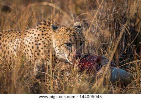 Cheetah Eating From A Reedbuck Carcass In Kruger.