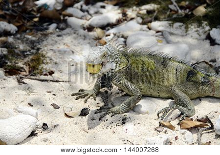 Close Up Of Iguana