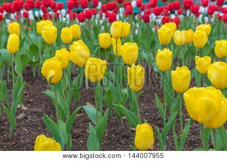 Yellow Tulips, Beautiful Flower In The Garden