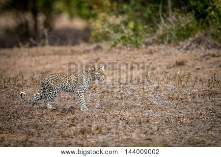 Young Leopard Walking In The Grass In The Kruger.