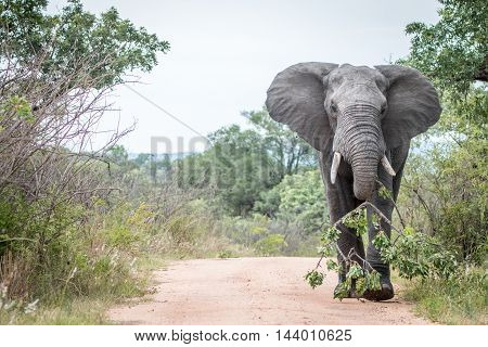 A Big Bull Elephant Dragging A Branch On The Road In Kruger.
