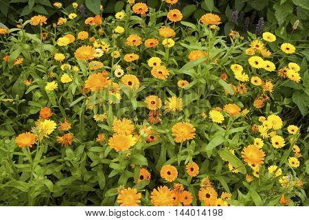 Image of Calendula (Calendula officinalis) flowers in a garden.
