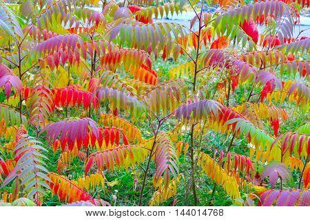 multicolored beautiful autumn leaves on the tree