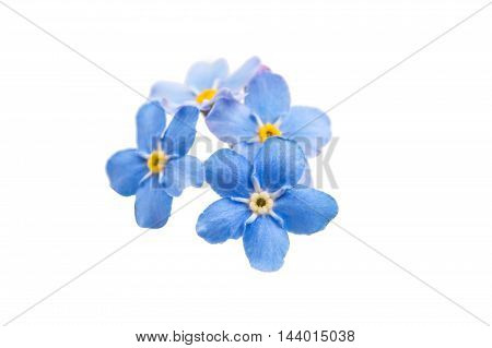 blue fresh  floral nature me-nots flowers on a white background