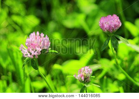pink and tender flowers of clover in the meadow