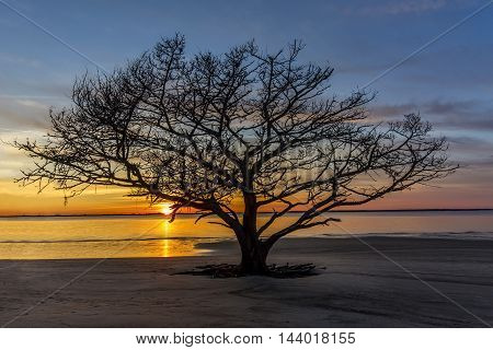 Live Oak Tree Growing On A Georgia Beach At Sunset
