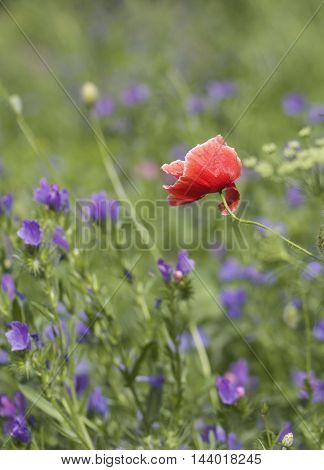 Red Poppy growing amongst a wild meadow in the english countryside