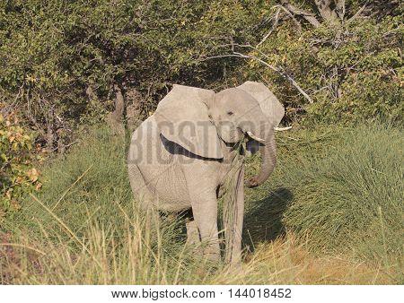 Desert Adapted elephant in Damaraland eating grass