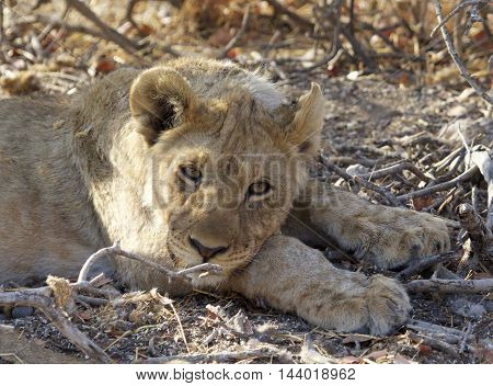 An adolescent lion cub resting beneath some bushes with his head on his paws