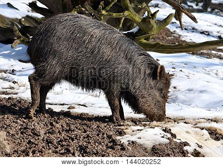 view of the animal - wild boar in winter