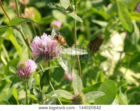 The red clover flower close up with bee on the field