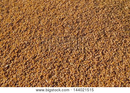 Freshly harvested corn texture background