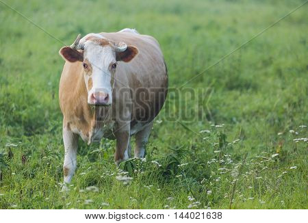 Brown cow grazing in the green field.