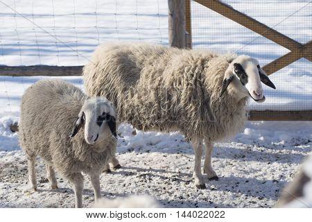 two woolly sheep in a pen snowy meadow in winter