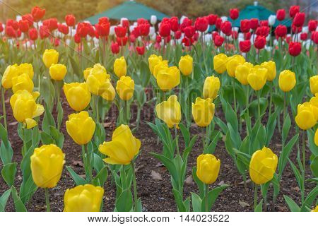 Colorful Tulips, Beautiful Flower In The Garden