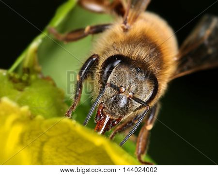 Busy bee collecting nectar in garden flower