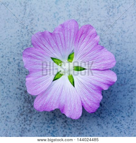 flower (lavatera Thuringian) amethyst color on a blue background. shallow depth of field