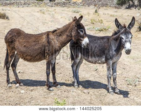 Assos in Turkey's Aegean region donkeys living in a natural environment near the ancient city.