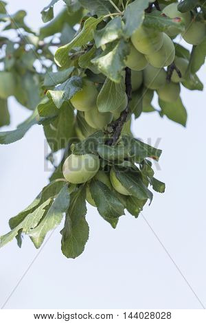 Plum tree with fruit growing in the garden, on the sky background