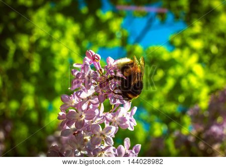 bumble bee pollinating a flower lilac on blurry background